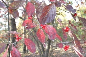 Red Leaves (300x200)